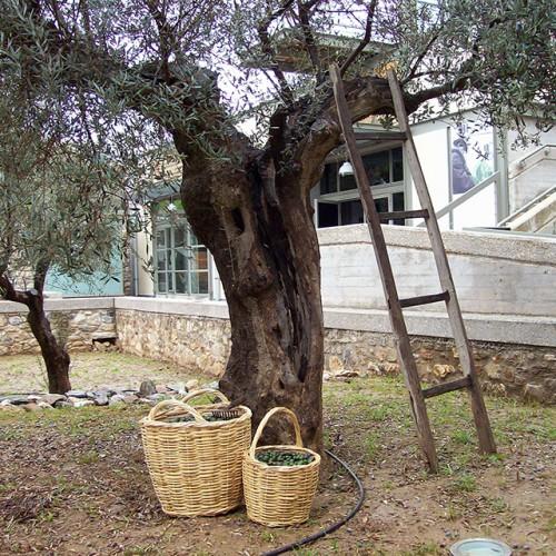 olive_museum